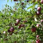 Gite Ponteils Pommes variété ancienne